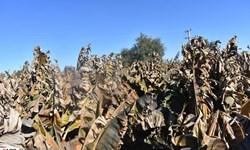 به دنبال سرمای شدید محصولی برای کشاورزان زرآبادی نمانده است