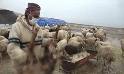 فیلم| قربانی عشایر ایلام برای نعمت باران