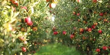 نگرانی باغداران و فرصت سوزی مسؤولان/500 هزار تن سیب در سردخانههای آذربایجان غربی در حال فاسد شدن است