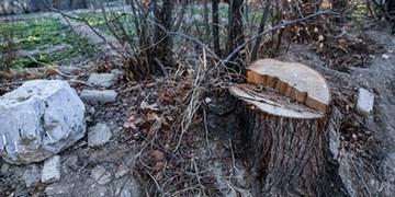 قاچاق چوب در بوشهر/ قطع درختان به بهانه هرس!+فیلم