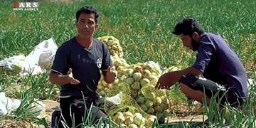 فیلم| «پیاز» چالشی جدید برای کشاورزان مینابی