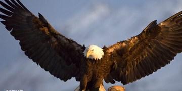 یک بهله عقاب طلایی در نهاوند رهاسازی شد