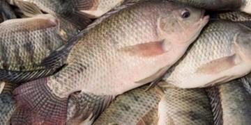 قاچاقچی ماهی در ساوجبلاغ دستگیر شد/کشف 20 تن قاچاق به ارزش 5 میلیارد