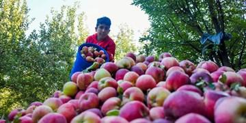 فیلم| قصه تکراری «سیب» ارومیه؛ نگرانی باغداران و فرصت سوزی مسوولان