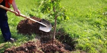 هیأتیهای اسلامشهر ۴۲ هزار درخت زیتون میکارند