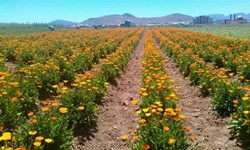 کشت گیاهان دارویی در حال انقراض در مزرعه آموزشی  هنرستان کشاورزی کهگیلویه و بویراحمد
