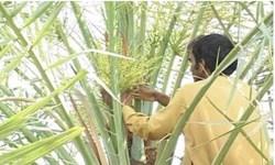 تولید بیش از 10 هزار تن خرما در نخلستانهای خاش