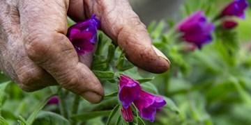 سطح زیر کشت گیاهان دارویی در افق ۱۴۰۴ دوبرابر میشود