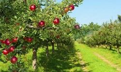 دست خالی باغداران، جیب پر دلالان/ قیمتی که از باغ تا بازار 7 تا 8 برابر میشود