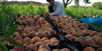 افزایش 10 برابری قیمت هلو و بادام از مزرعه تا بازار/ آفت دلالی و سوءمدیریت بر تنه کشاورزی و تولید
