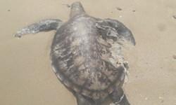 پیدا شدن لاشه لاک پشت پوزه عقابی در ساحل بندرلنگه