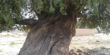 درخت سرو  ۱۰۰۰ ساله مشهدی در فهرست آثار میراث طبیعی کشور ثبت شد