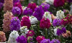 خمینیشهر بزرگترین تولیدکننده شب بوی گلدانی در کشور