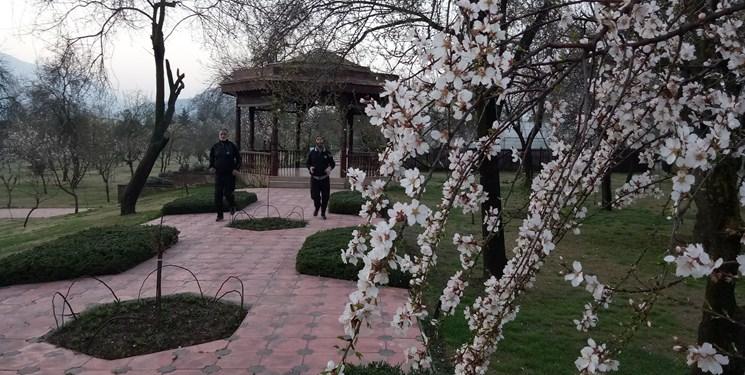 شکوفههای بادام؛ چشمانداز بهاری کشمیر + تصاویر