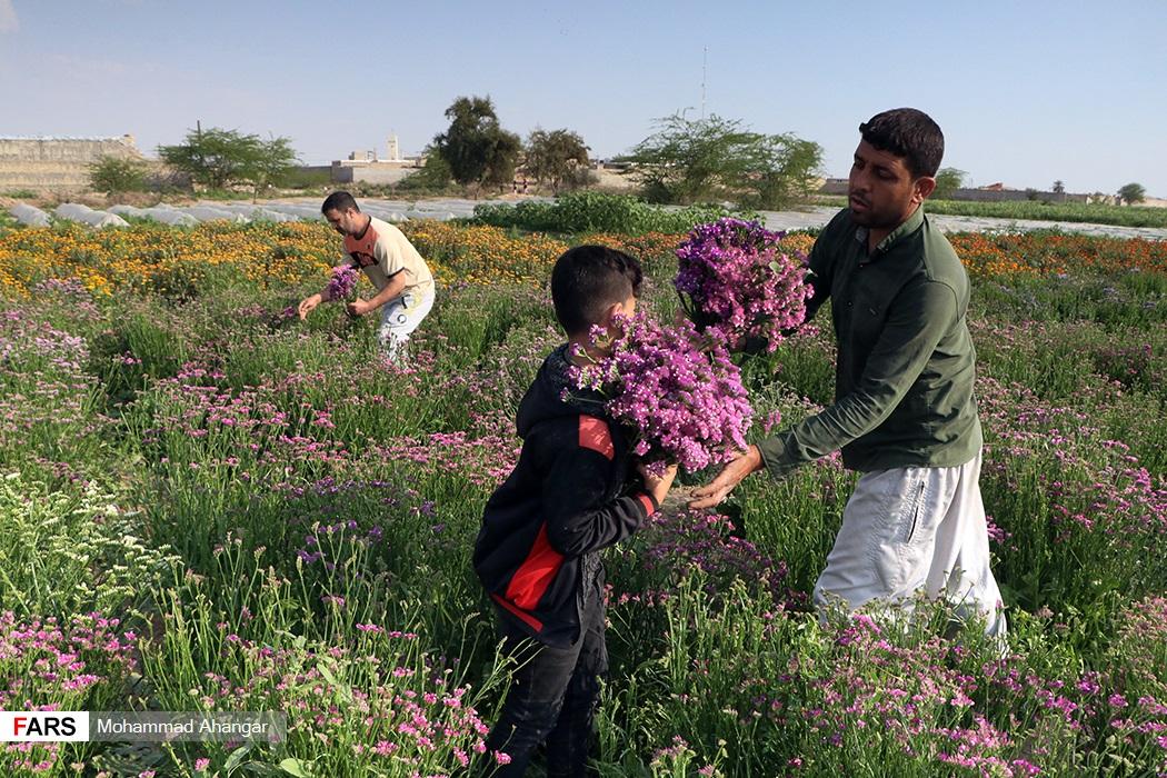 از نمونه گلهایی که در آن برداشت می شود می توان به انواع گلهای شببو، زنبق، گل خشک و گل همیشه بهار اشاره کرد
