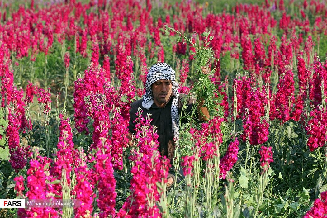 شهرستان حمیدیه یکی از شهرستانهای استان خوزستان در جنوب غربی ایران است که از گذشته کشاورزان در این شهرستان به تولید انواع گل میپرداختند
