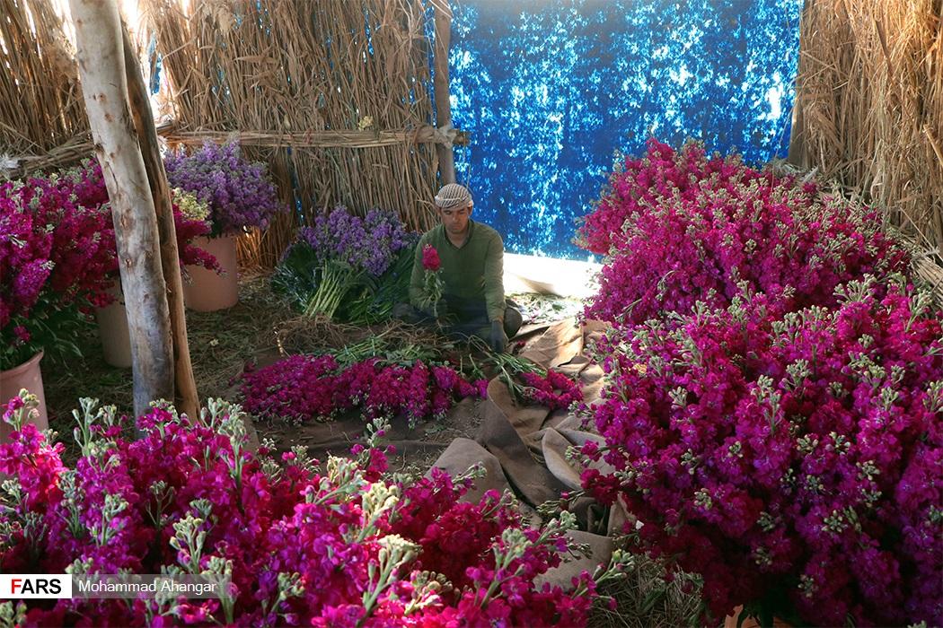 این گلها پس از برداشت برای مصرف در درون استان و برخی از مناطق کشور فرستاده میشوند