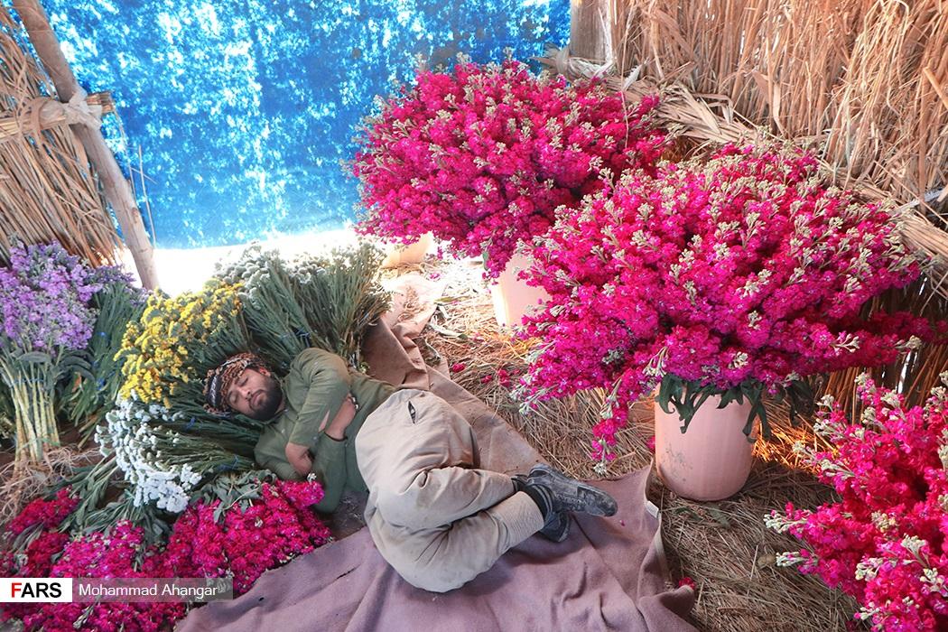 گل های برداشت شده از حمیدیه در تهران ، اصفهان، شیراز و اهواز به فروش می رسد