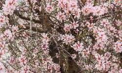 فیلم / رقص شکوفههای بهاری در آذرشهر