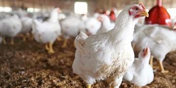۲ هزار تن مرغ در البرز توزیع شد/فعلا کمبودی وجود ندارد