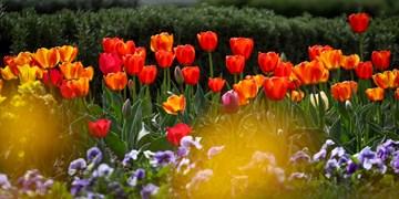 جشنواره گل لاله