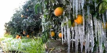 تازیانه زمهریر زمستانی بر پیکر باغات/ کشاورزان بیادعای فارسی در انتظار دریافت تسهیلات