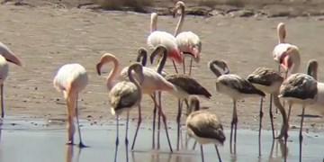ورود فلامینگوها به پارک ملی ساریگل اسفراین