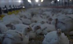 ویدئو کامنت| عرضه نوروزی ۵۰۰ تن مرغ در گیلان