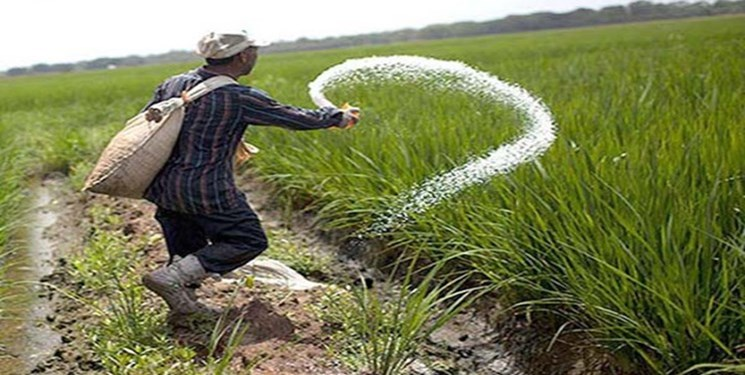 رنج برنج بهوقت گرانی کود شیمیایی