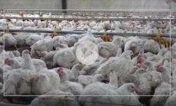 آشفته بازار گوشت قرمز و مرغ در چاروسا/کدام دستگاه متولی نظارت است
