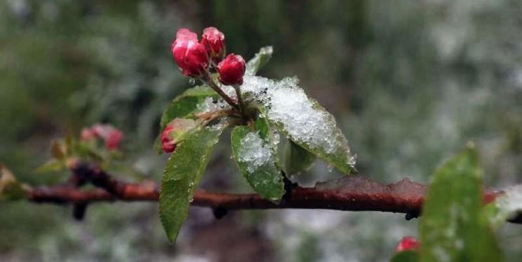 سرمازدگی به ۲۴۵۰ هکتار از باغات نهاوند خسارت زد