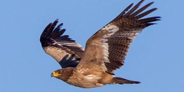 تحویل یک بهله عقاب طلایی نابالغ به محیط زیست نهاوند