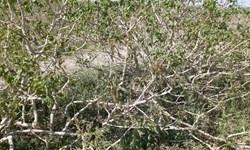 خسارت شدید کاهش دما به محصول پسته در شهرستان انار