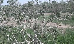 شوک بزرگ سرما به پستهکاران سیرجانی/۱۰۰ درصد باغات خسارت دید