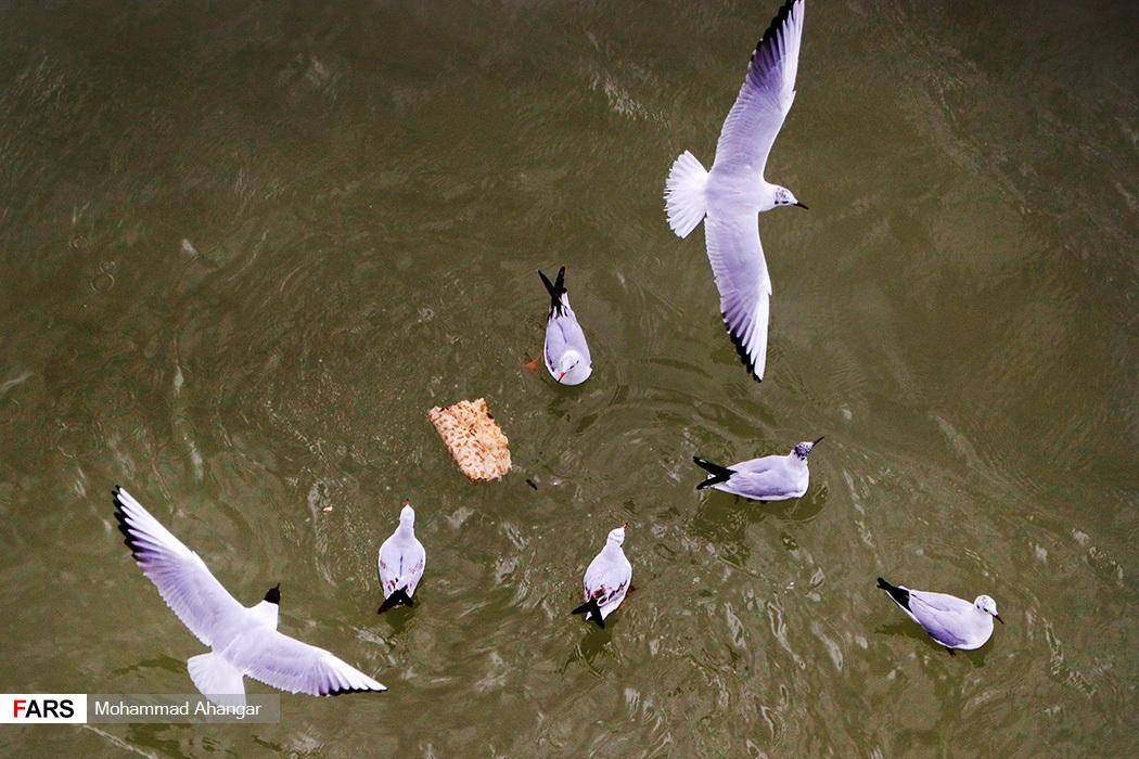 این پرندگان مهمانهای هر سال پل سفید اهواز هستند