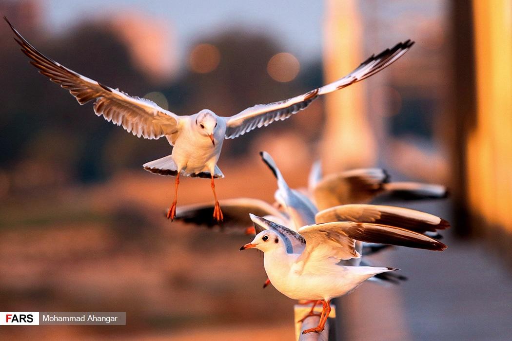 این پرنده ها این روزها زیبایی خاصی به رودخانه کارون، تالاب ها و آبگیرهای خوزستان بخشیده اند