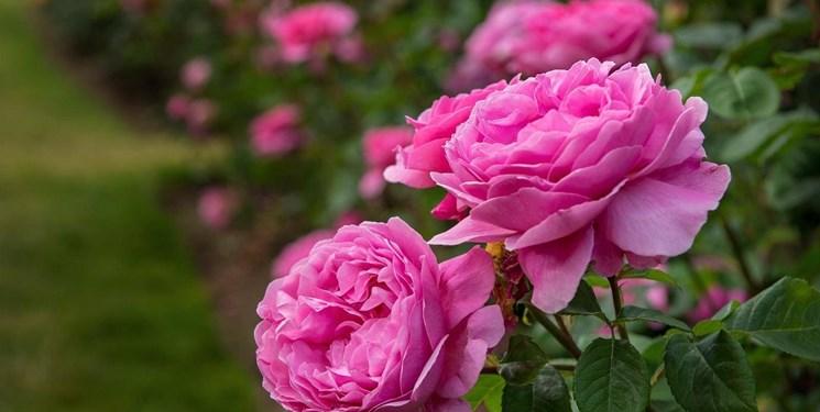 گلکاران دودانگه چشم انتظار برداشت گلمحمدی