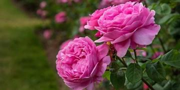 پیشبینی برداشت ۱۰ هزار تن گل محمدی از ۲۶۰۰ هکتار گلستانهای کاشان