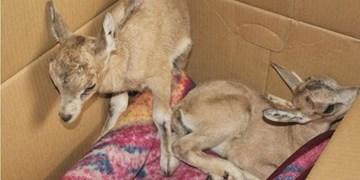 زندهگیری نوزاد حیوانات مانع بقاء حیات وحش است/حفظ حیات وحش وظیفهای همگانی