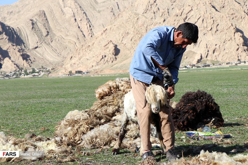 چیدن پشم گوسفندان در هنگام کوچ به منظور پیشگیری از گرمازدگی