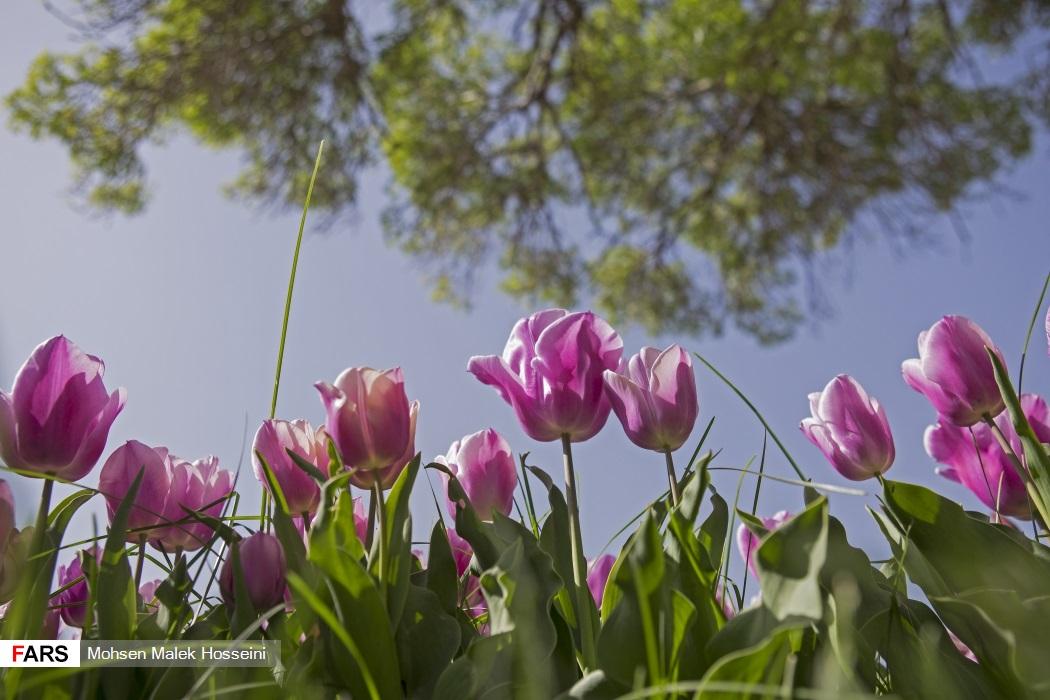 سومین جشنواره گلهای لاله