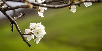 عکسهایی دیدنی از شکوفههای بهاری در اردبیل