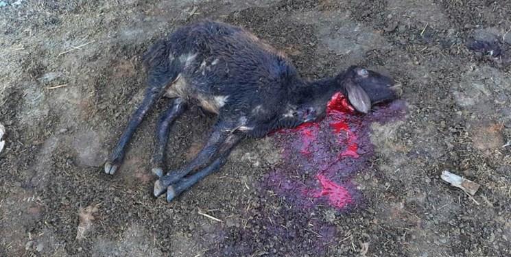 حمله گرگ گرسنه به آغل گوسفندان در مراغه