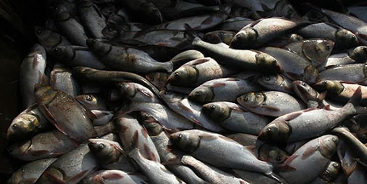 ماهیهای «سیمره» گروهی در آب میمیرند