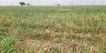خسارت ۱۴ میلیاردی سرمازدگی به باغات و زراعت شهرستان فیروزآباد