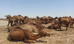 بیش از۶۴ هزارنفر شتر در سیستان وبلوچستان پلاک کوبی شد
