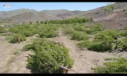 فیلم| ناجوانمردانهترین عمل انسانی در حق یک جانباز/ قطع شبانه دو هزار درخت مثمر یک باغ در سنندج