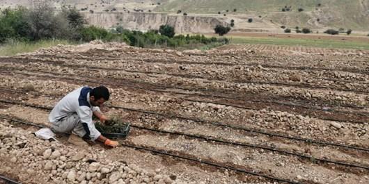 اشتغالزائی بنیاد علوی در شهرستان لنده با کاشت ۷۵ هکتار گیاهان دارویی