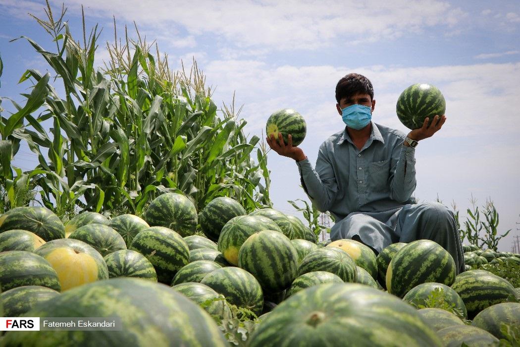 برداشت هندوانه در جنوب کرمان