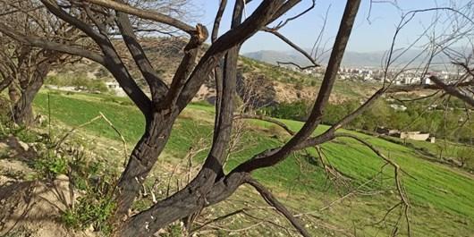 مرگ درختان بلوط در کهگیلویه و بویراحمد/سودجویانی که دست از تخریب منابع طبیعی برنمیدارند